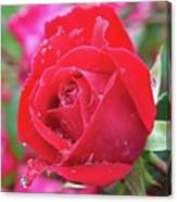 Dripping In Beauty - Double Knock Out Rose Canvas Print