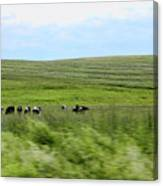 Driveby Shooting No.17 Cows Canvas Print