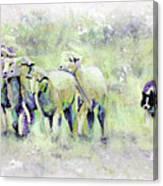 Driving Sheep Canvas Print