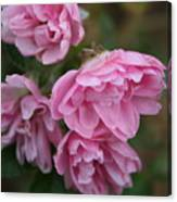 Droopy Pink Roses Canvas Print
