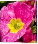 Droplets On Flower Canvas Print
