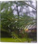 Droplets On Pine Branch Canvas Print
