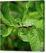 Droplets On Spring Leaves Canvas Print