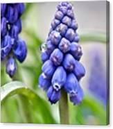 Drops Met Hyacinth Canvas Print