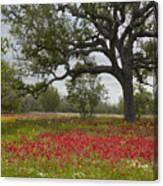 Drummonds Phlox Meadow Near Leming Texas Canvas Print