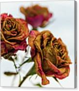 Dry Roses Canvas Print
