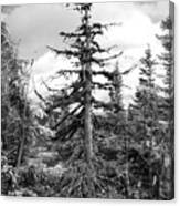 Dry Spruce Canvas Print