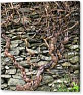 Dry Stone Wall And Vine Canvas Print