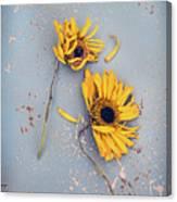 Dry Sunflowers On Blue Canvas Print
