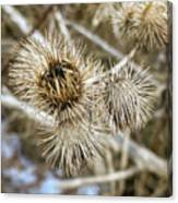Dry Thistle Buds Canvas Print
