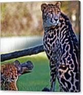 Dubbo Zoo Queen - King Cheetah And Cub Canvas Print