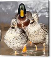 Duck - Id 16235-220255-9105 Canvas Print