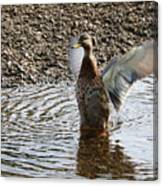Duck In A Flap Canvas Print
