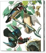 Lummer Or Wood Duck Canvas Print
