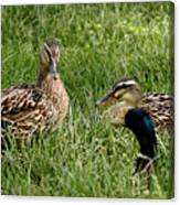 Duck Meeting At Frankenmuth Canvas Print
