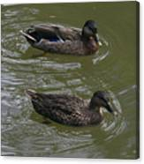 Duck Pair Swimming Canvas Print