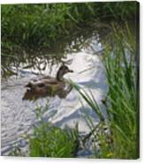 Duck Swimming In Stream Canvas Print