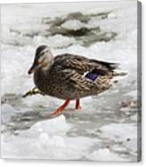 Duck Walking On Thin Ice Canvas Print