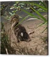 Duckling Lost Canvas Print