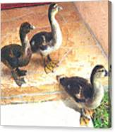Ducklings Come To Visit Canvas Print