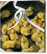 Ducklings In A Basket Canvas Print