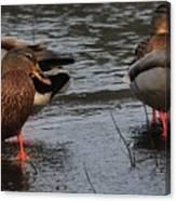 Ducks Hoping For Snacks  Canvas Print