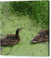 Ducks In Pond Canvas Print