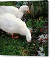 Ducks In The Garden At The Shipwright's Cafe Canvas Print
