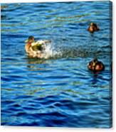 Ducks In Water Canvas Print