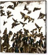 Ducks On The Move Canvas Print