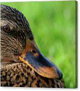 Ducky Up Close And Personal Canvas Print