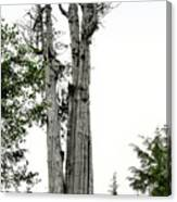 Duncan Memorial Big Cedar Tree - Olympic National Park Wa Canvas Print