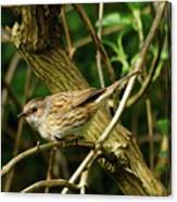 Dunnock In A Hedgerow Canvas Print