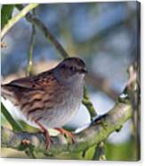Dunnock On A Snowy Day In Winter Canvas Print