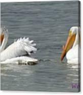 Duo Pelicans Canvas Print