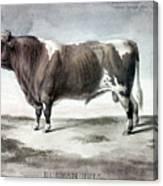 Durham Bull, 1856 Canvas Print