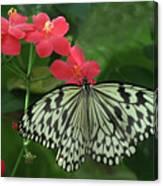 Durham Butterfly #5 Canvas Print