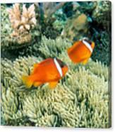 Dusky Clownfish Canvas Print