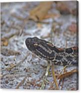 Dusky Pygmy Rattlesnake Canvas Print