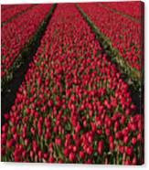 Dutch Tulips Second Shoot Of 2015 Part 1 Canvas Print