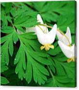 Dutchman's Breeches Canvas Print