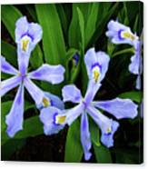 Dwarf Crested Iris Canvas Print