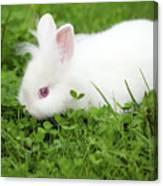 Dwarf White Bunny Spring Scene Canvas Print