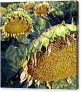 Dying Sunflowers In Field Canvas Print