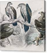Eagle Birds Print Canvas Print