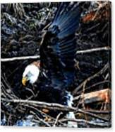 Eagle Getting Ready To Feed Canvas Print