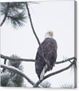 Eagle In A Pine Tree Canvas Print