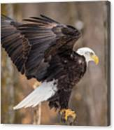 Eagle Landing On Perch Canvas Print