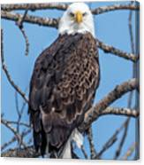 Eagle Mean Muggin Me Canvas Print