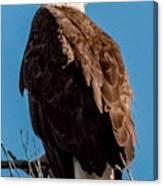 Eagle Of The Salt River Canvas Print
